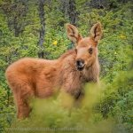 Moose calf spotted on the back roads around Anchorage.