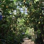 Le jardin de citrons en été avec ses hortensias bleus