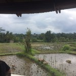 Looking over the rice fields