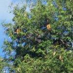 Vue sur l'arbre aux roussettes, devant nous