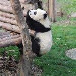 Visiting the Famous Pandas of Chengdu @ Chengdu - Sichuan, CHINA