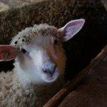 Sheep posing