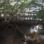 Mangroves roots