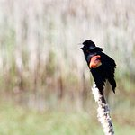 Red-winged Blackbird bursts into song