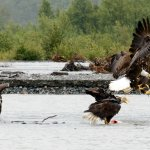 Bald eagle fighting over a salmon.
