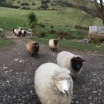 sheep that keep the ground cover groomed!