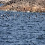 Thousands of Puffins