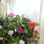 Lovely hanging baskets