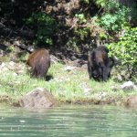 black bears sighted on the river bank