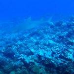 Lemon shark <3