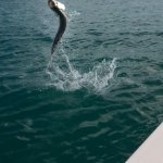 Tarpon dancing on the water :)
