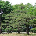 Well trimmed pine trees