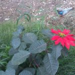 First time see the poinsettia flower in Sri Lanka