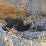 hyena den and pups