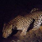 night safari leopard
