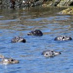 Seal herd