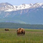 Brown Bears at Hallo Bay Katmai National Park, Alaska, USA