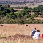 Walking with lions on Safari at Offbeat Mara