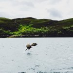 White-tailed sea eagle catching fish off the Isle of Grimsay