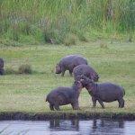 Baby hippos playing in Ngorongoro