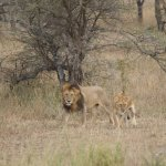 Lion and lioness taken just prior to their mating