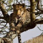 Happy leopard after enjoying a fresh gazelle