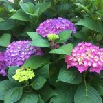 Lush Hydrangeas on the grounds