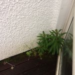 Weeds on balcony