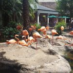 The flamingos having a good time relaxing.