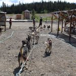 Sled dogs getting their exercise