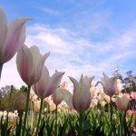 Photos I took during 'Tulips In May' at Dallas Arboretum.