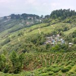 A view of the enchanting tea gardens of Darjeeling