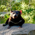 The Tasmanian Devils are retiring in style at Safire's Sanctuary.