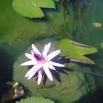 Beautful Water Lilly