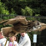 an Eagle Owl flying overhead during the show