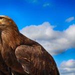 the beautiful white-tailed sea eagle