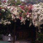 White cascading bouganvilla in the beautiful garden courtyard where lunch is served.