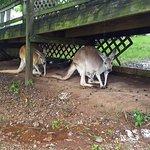 Kangaroos hiding from the rain.