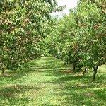 Mount Pleasant Farms Peach Trees