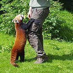 Feeding the red panda