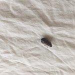Cockroach on duvet