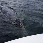curious grey whale