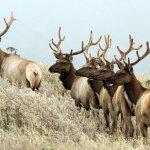 Bull elk on hte side of the road.