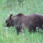Grazing Grizzly