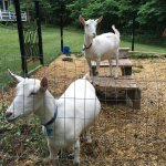 Two friendly goats, Ava and Zsa Zsa