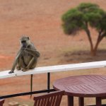 Baboon at the pool