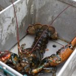 Lobster Boat Tour w/ Captain Clive Farrin Image