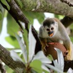 Squirrel monkey eating fruit in tree next to balcony