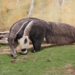Giant Anteaters at Chaffee Zoo