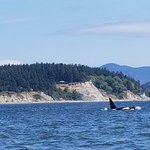 One of five orcas we saw on the Spirit of Orca Whale Tour in the San Juan Islands